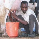 Linking small dairy producers to dynamic markets: three business models from Kenya