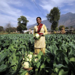 Indian farmer w cabbage
