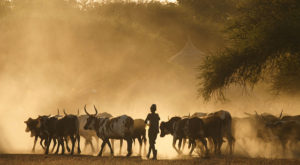 Herders return home at dusk.