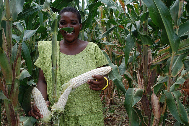 drought-tolerant-maize-cimmyt