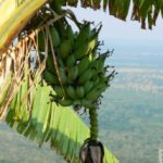 CGIAR researchers combine forces to reduce the damage of banana disease in Uganda