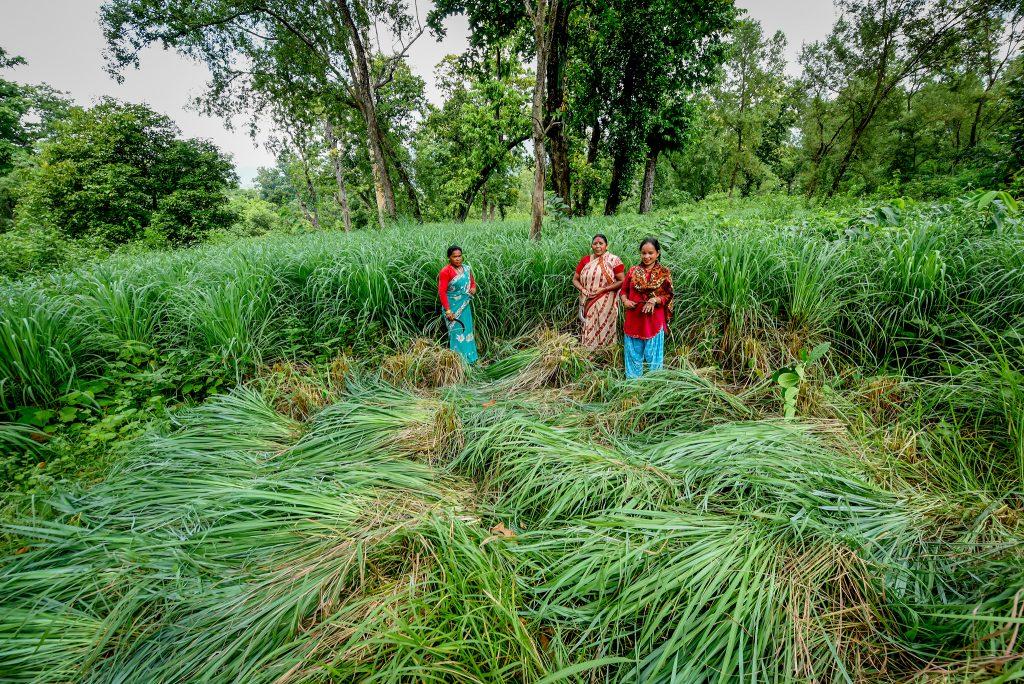 Women harvesting lemongrass. Photo by Chandra Shekhar Karki/CIFOR
