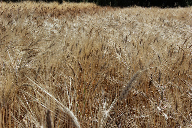 In the press: Great expectations from Ethiopia's Wheat Initiative