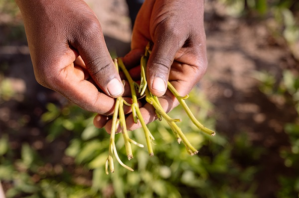 Understanding farmers' willingness to pay for root, tuber and banana crop planting material