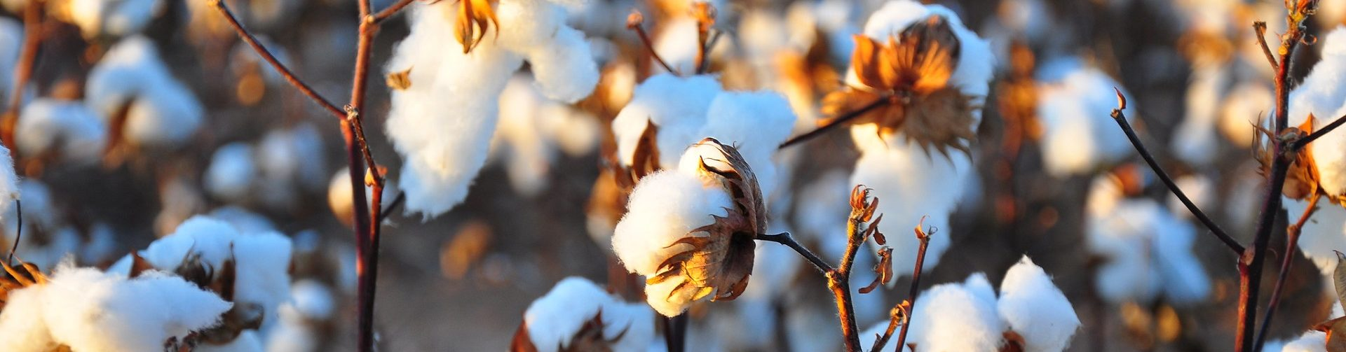 Transgenic cotton and farmers' health in Pakistan