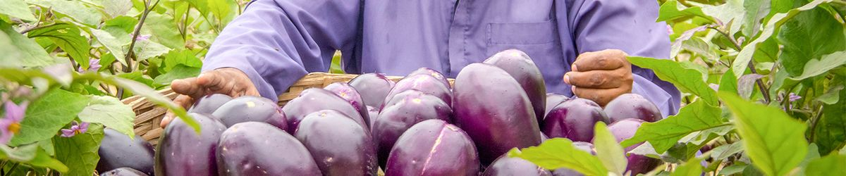 Impact study demonstrates Bt brinjal eggplant variety helps farmers in Bangladesh earn more with less pesticide