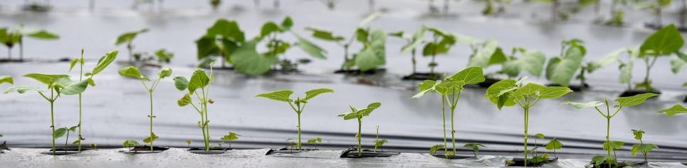 CIAT seedlings2